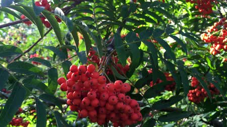 sorbus : Bush of red ripe mountain ash in the wind.