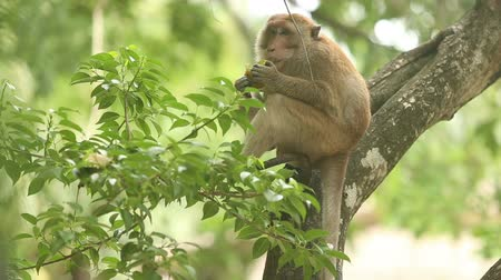 howler monkey : monkey sitting on a branch and eating fruit mango on a background of tree trunks and foliage