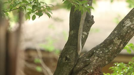 howler monkey : tail monkey swinging on a background of tree trunks and foliage Stock Footage