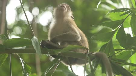 howler monkey : gray monkey sitting on a bamboo branch and looking around on the background of tropical greenery Stock Footage