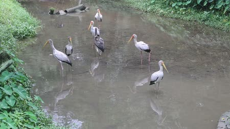painted stork : stork walks along the creek in search of food in the grass and lifts wing