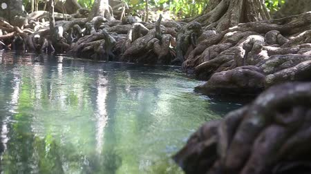 mangue : clear water flows among the mangrove roots of trees in the tropics on a sunny day