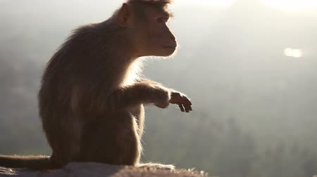 monkey temple : monkey looks around at dawn sitting on a rock on top of a temple in the mountains