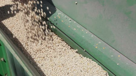 trator : pea grain is poured into the drill out of the truck near the tractor close up