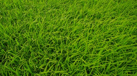 вьетнамский : closeup camera moves along Vietnamese rice field plants towards distant village