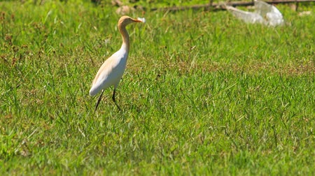 long necked : long-necked white bird walks on green grass in tropical park Stock Footage