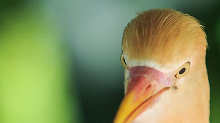 small heron : closeup small orange egret turns his head around against green plant in park Stock Footage