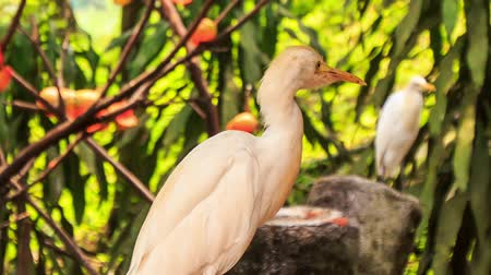 small heron : closeup small white cattle egret cleans feathers and looks around against red flowers in park Stock Footage