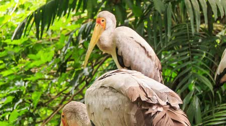 sandhill crane : closeup group of Sandhill Cranes stand and walk among palms and tropical plants in park Stock Footage
