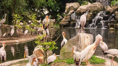 sandhill crane : large group of Siberian and Sandhill Cranes walk and rest on stony banks of pond in tropical park Stock Footage