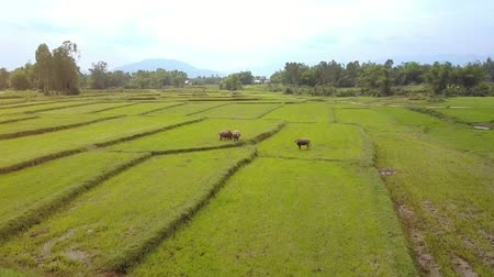 cow flies : drone flies over cows and buffaloes pastured on grown rice fields against beautiful rural landscape