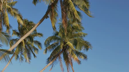 aspire : closeup high exotic green palm trees wave under aspiring wind breath on tropical ocean shore