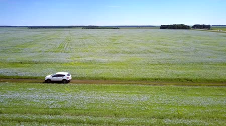 trigo sarraceno : aerial white car drives between buckwheat fields