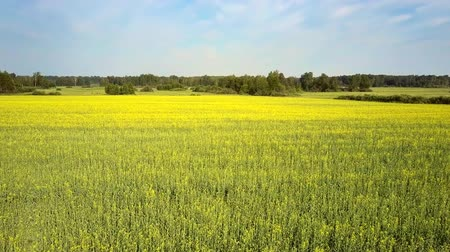 rape : upper motion over vast blossoming rape field to forest