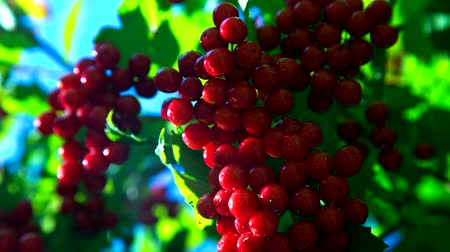krzew : viburnum bunch illuminated by sunlight among green leaves