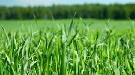 sapları : closeup wind shakes young lush green wheat stems