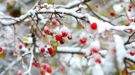 rowanberry : red rowan tree branches covered with first snow in winter