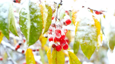 rowanberry : rowan berry cluster seen through snowy colorful leaves