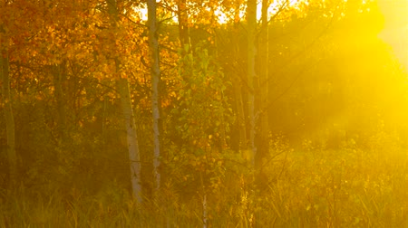 wood glade : magical picture gold birches in sunlight haze at sunset