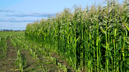 строк : harvested and green maize fields by road under blue sky
