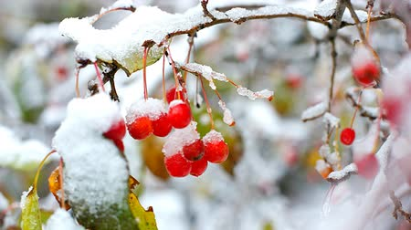 rowanberry : wind shakes rowan tree berries covered with snow in winter Stock Footage