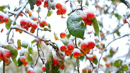 rowanberry : close frozen mountain ash red berries with snow caps