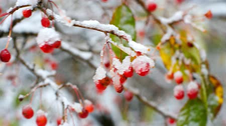 rowanberry : amazing rowan tree berries covered with snow and ice