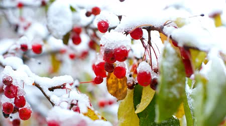 rowanberry : wind waves rowan berries and leaves covered with snow