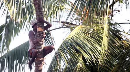 knocking : man squats nicking palm tree trunk tries to knock down