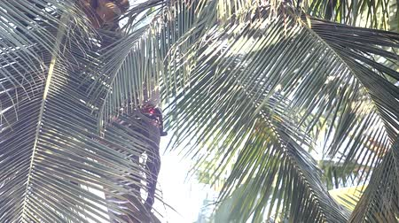 lacy : low angle shot guy harvests coconuts sitting on palm tree Stock Footage