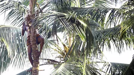 machete : worker cuts down palm tree leaves for harvesting coconuts