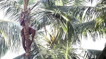 machete : sun lights worker cutting coconut palm tree leaves Stock Footage
