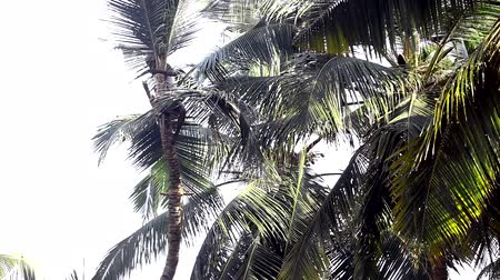 machete : worker climbs up high coconut palm tree to cut branches