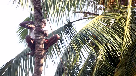 machete : local man sits on palm tree trunk on stick cutting branches