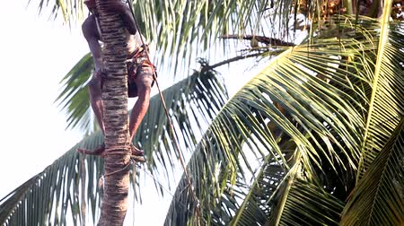 machete : man stands up on palm tree trunk on stick works with machete