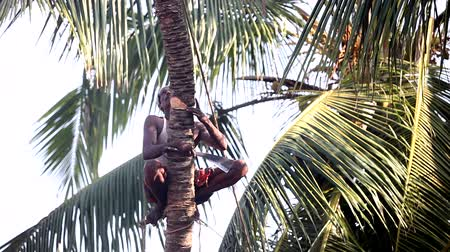 machete : man nicks in with machete palm tree trunk to knock down Stock Footage