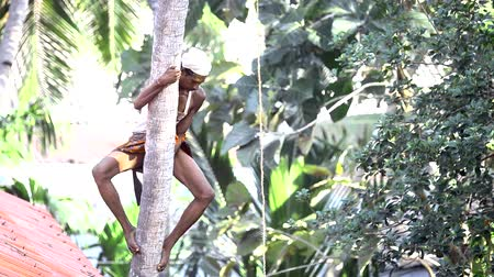 toka : brave guy climbs down clasping palm tree trunk like monkey Stok Video