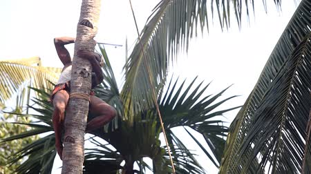 machete : worker fixed with rope cuts palm tree top with huge machete