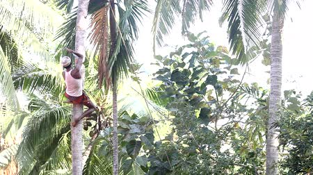 machete : man sits on support cuts palm tree top with machete Stock Footage