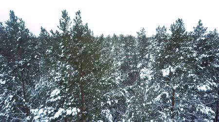 wilderness area : pine trees covered with snow flakes in woodland area