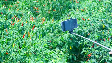 modern smartphone on stick in girl hand against red ripe hot pepper fruits among plants on green plantation Vídeos