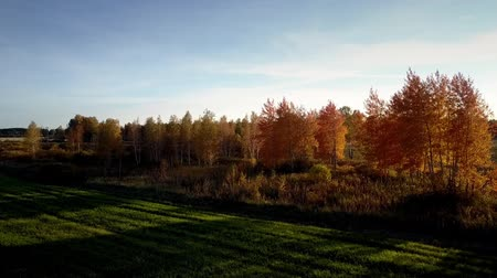 wood glade : fantastic picture bright colorful birch trees make long shadows on field in autumn evening sunlight under blue sky Stock Footage