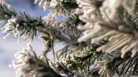 tremble : macro pine tree needles in hoarfrost on branch tremble in cold under sunlight on frosty winter day