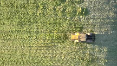 yem : vertical view powerful special silage ramming bulldozer leaves corn silage heap in pit on sunny autumn day