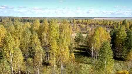lacy : amazing aerial motion over lacy yellow birch trees by evergreen forest against wide rural fields under blue sky in fall