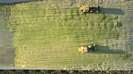 rams : vertical view powerful special bulldozers drive to-and-fro along pit tamping green corn silage on sunny autumn day