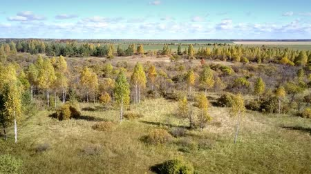 lacy : pictorial bird eye flight over lacy yellow birch trees among bushes by pine wood near fields under blue sky in autumn Stock Footage