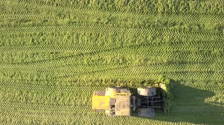 forragem : vertical view powerful special silage ramming bulldozer levels surface of green corn silage in pit on sunny autumn day