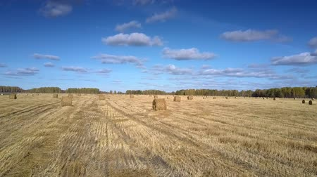 bales : beautiful aerial view straw bales scatter on harvested wheat stubble field by forest on sunny autumn day under blue sky Stock Footage