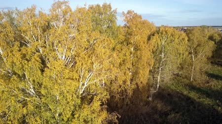 bétula : fantastic upper view birches with yellow leaves in forest against blue evening sky in autumn